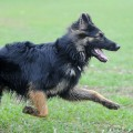 black german shepherd gsd training and having fun
