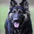 black german shepherd gsd dog training